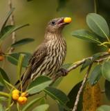 Female Fig Bird