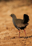 Black Tailed Native Hen