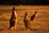 Forester Kangaroos - Last Rays of Sunshine