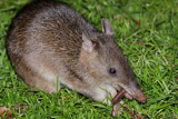 Long Nosed Bandicoot
