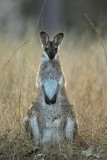 Whip Tail Wallaby