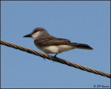 4638 Gray Kingbird.jpg