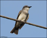 4645 Gray Kingbird.jpg