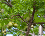 4737 Fruit Tree sp.jpg