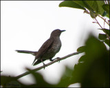 4769 Scaly-breasted Thrasher.jpg