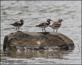 4894 Ruddy Turnstones.jpg