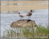 4913 Black-bellied Plover and Whimbrel.jpg