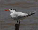 4923 Royal Tern.jpg