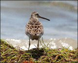4938 Short-billed Dowitcher.jpg