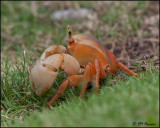 4964 Land Crab sp.jpg
