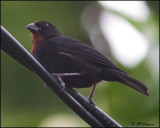 4985 Lesser Antillean Bullfinch male.jpg