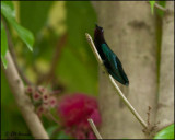 5009 Purple-throated Carib.jpg