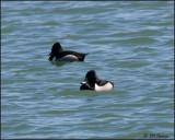 4305 Ring-necked Ducks.jpg