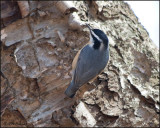 4334 Red-breasted Nuthatch.jpg