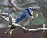 4551 Blue Jay.jpg