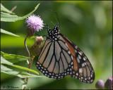 5685 Monarch.jpg
