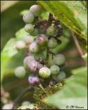 5749 Grapes.jpg