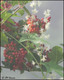 5769 Highbush Cranberry and Wild Cucumber.jpg