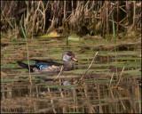 5891 Wood Duck male in eclipse.jpg