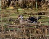 5894 Wood Duck male in eclipse.jpg