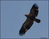 6183 Bald Eagle juvenile.jpg