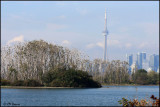6206 Cormorant trees and the CN Tower.jpg