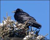 6789 Common Raven.jpg