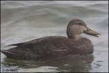 6866 American Black Duck.jpg