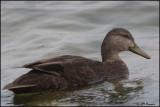 6869 American Black Duck.jpg