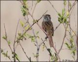 7151 Swamp Sparrow.jpg
