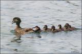 7586 Wood Duck female and ducklings.jpg