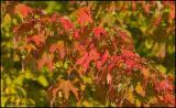 9463 Autumn Red.jpg