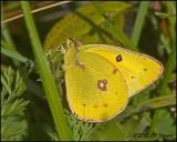 9619 Orange Sulphur.jpg