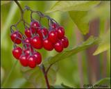 9829 Red Berries Solanum sp (Nightshade or Bittersweet).jpg