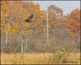 9951 Northern Harrier autumn colour.jpg