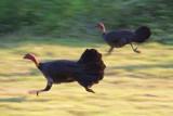 Brush turkeys runningIMG_2537