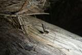 Rainforest opilionid (harvestman)P1010173
