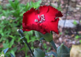 My First Carnation of Season