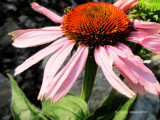 Ruby Coneflower.