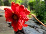 Red  Blanket Flower