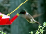 My Friendly Male Hummingbird