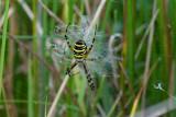 Wasp Spider / Hvepseedderkop
