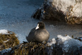 Winter by the sea: Eurasian Coot  / Vinter ved havet:  Blitshøne
