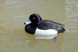 Tufted duck / Troldand