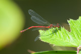 Large Red Damselfly / Rød vandnymfe