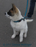 Akita Puppy named Judo