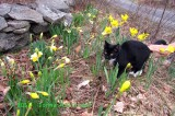 Rosie and the daffodils