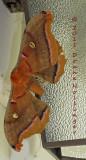 Polyphemous Moth