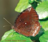 Orange Butterfly at Angkor Wat