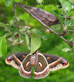 Mrs. Cecropia Moth